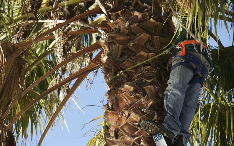 Employee climbing palm tree to trim in Tallahassee, FL